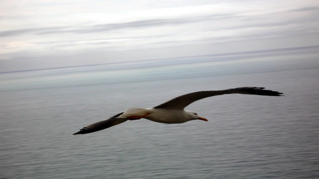 Flying bird over the sea