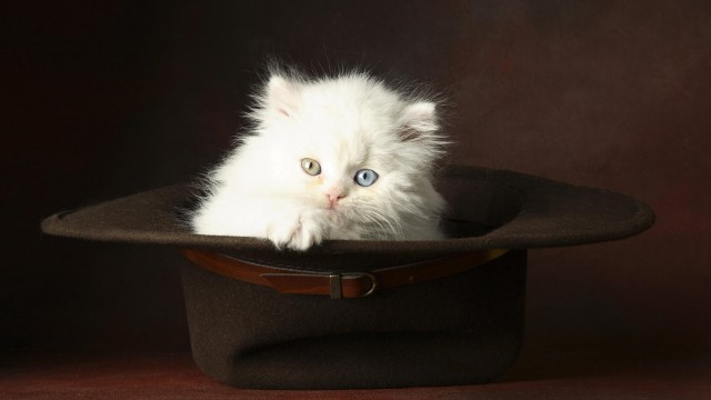 White cat in hat