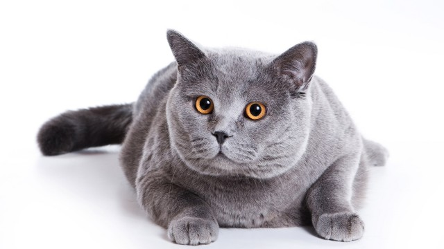 Grey fat cat