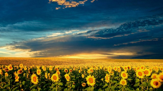 clouds, sunflower, nature, wow, sky, field