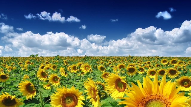 nature, sky, clouds, fields, sunflower, flowers