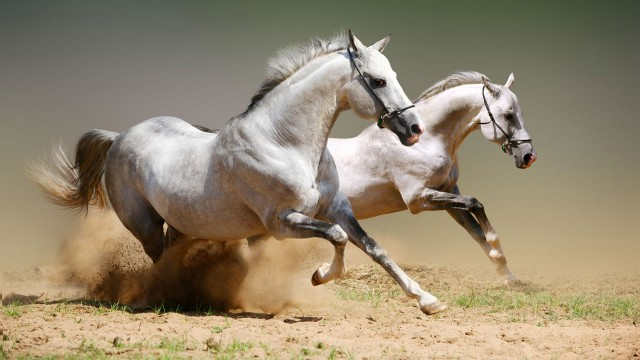 amazing white horses fast HD