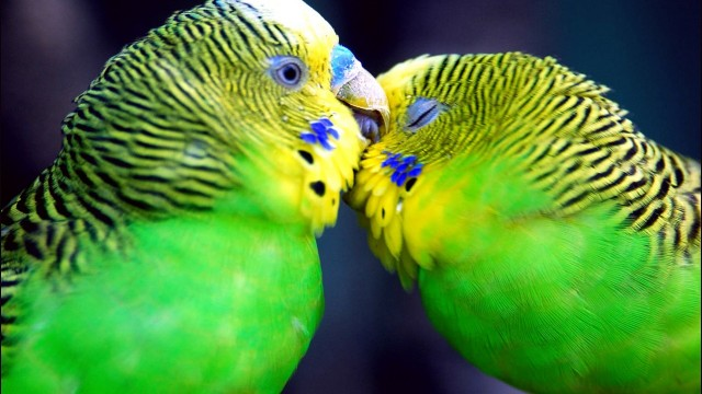 Parrot Hd Pc Wallpapers