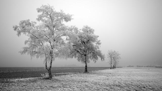 Winter Frozen Trees